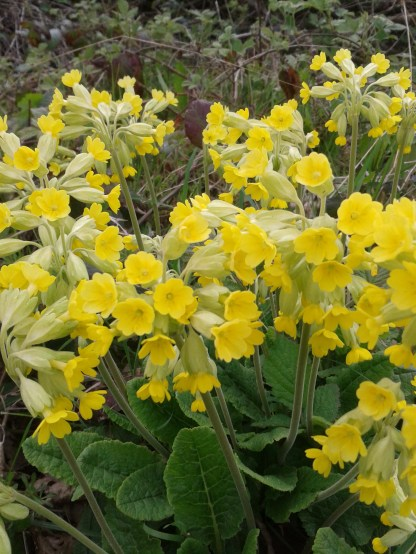 Cowslips by the side of the road
