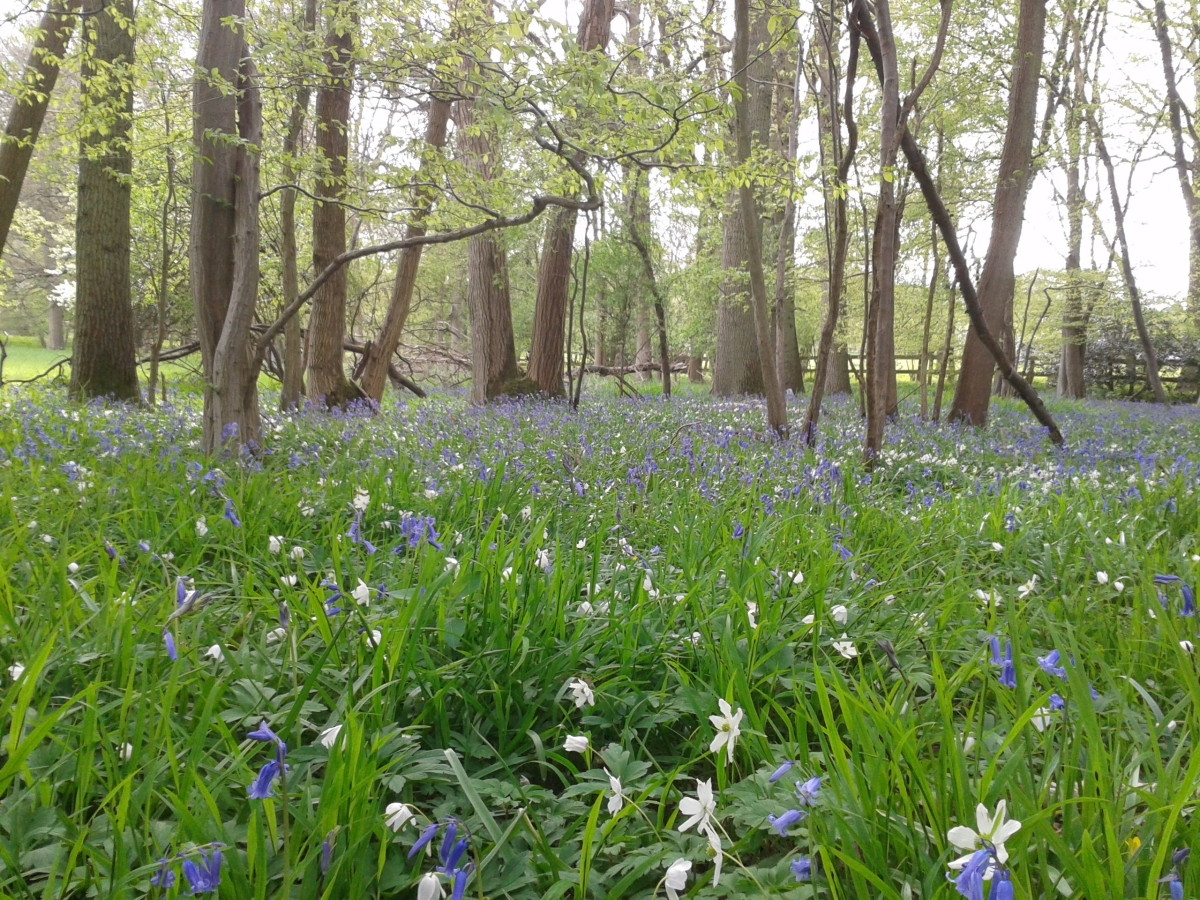 The bluebells are out