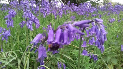 A bee visiting a bluebell