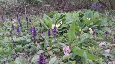 Pyramidal bugle and primroses